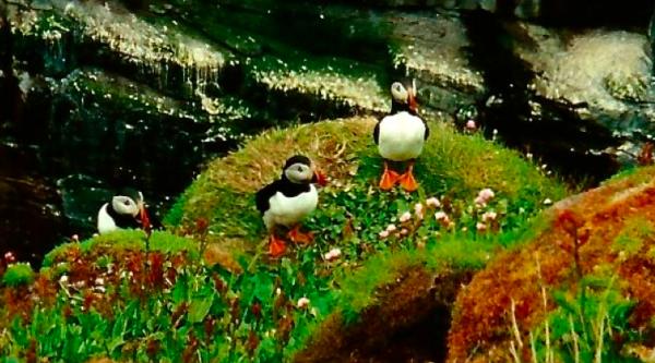 Puffins on Handa Island on my 1998 trip to Scotland