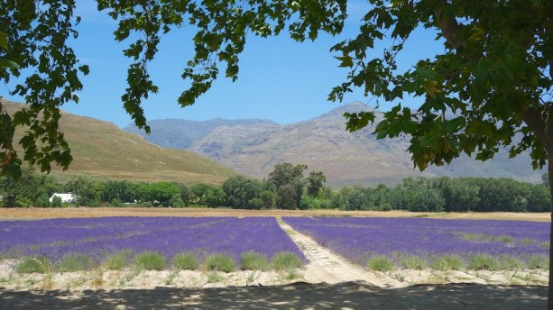 Lavender fields in the Franschhoek Valley, outside Cape Town