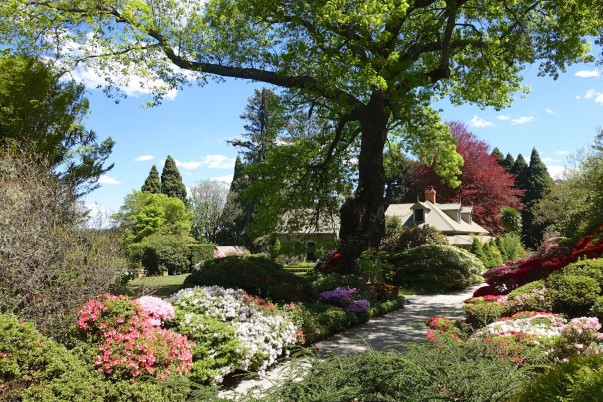 Ancient American Red Oak - planted in the 1800's provides a canopy over the clipped azaleas