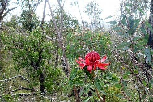 I see the blackened landscape returning to its natural state with spots of wonderful colour from native flowers like the Waratah that rely on fire for propagation and best blooms.