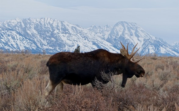 Moose grazing in the saltbush of the valley with the Grand Tetons beyond