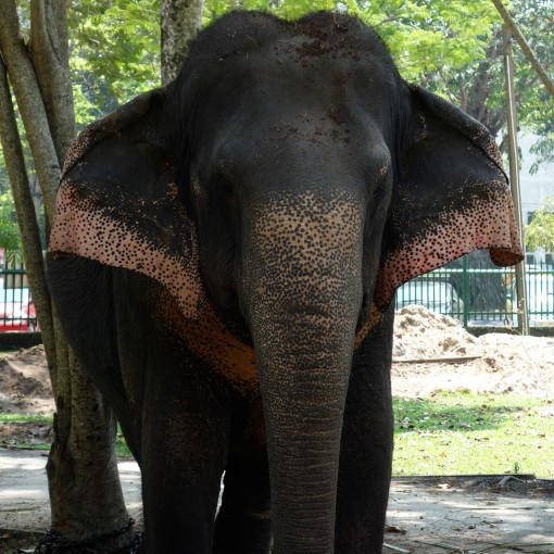 Face-on with a small-eared Sri Lankan Elephant