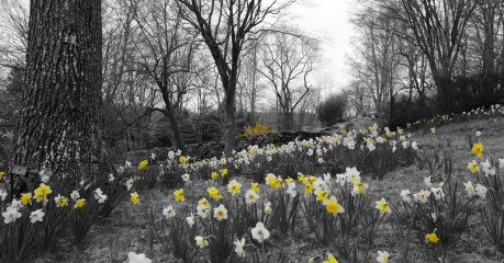 Fields of golden daffodils of daffodil