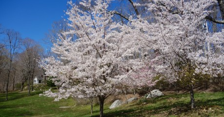 Cherry Blossom at its height