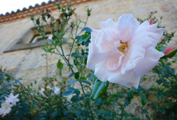 The last rose of summer . . . at Hacienda Zorita
